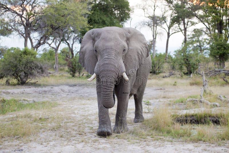 Huge elephant bull stock image