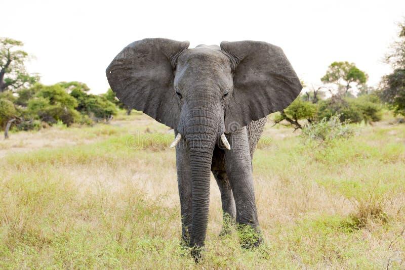 Huge Elephant in beautiful landscape of Botswana stock photo