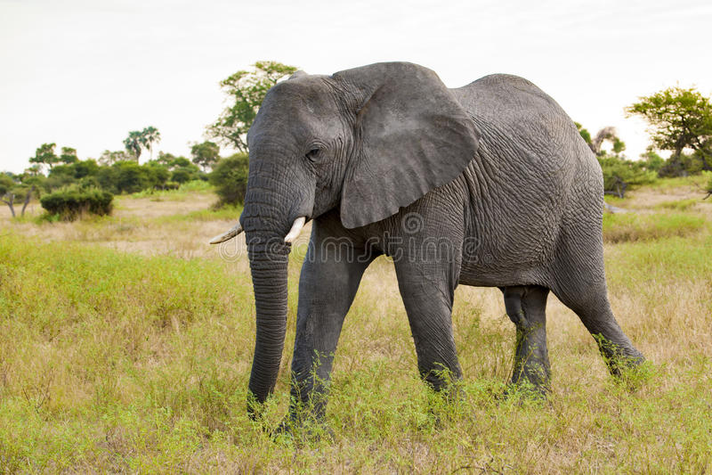 Huge Elephant bull, powerful walking alone in Botswana stock photo