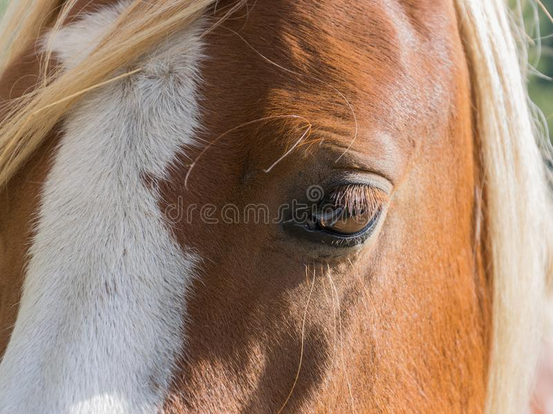 Huge eyes of a beautiful bay horse stock photo