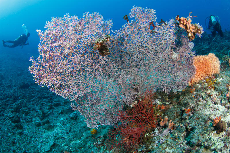 Huge fan coral an divers in background. A massive fan coral in a tropical reef and divers in the background royalty free stock images