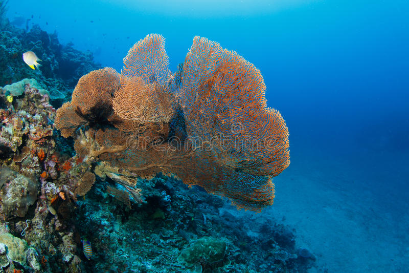Download Huge Fan Coral In A Tropical Coral Reef Stock Image - Image: 21821569