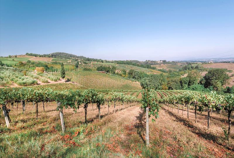 Huge farm with wineyard. Colorful vineyard landscape in Italy. Vineyard rows at Tuscany landscape in sun royalty free stock photos