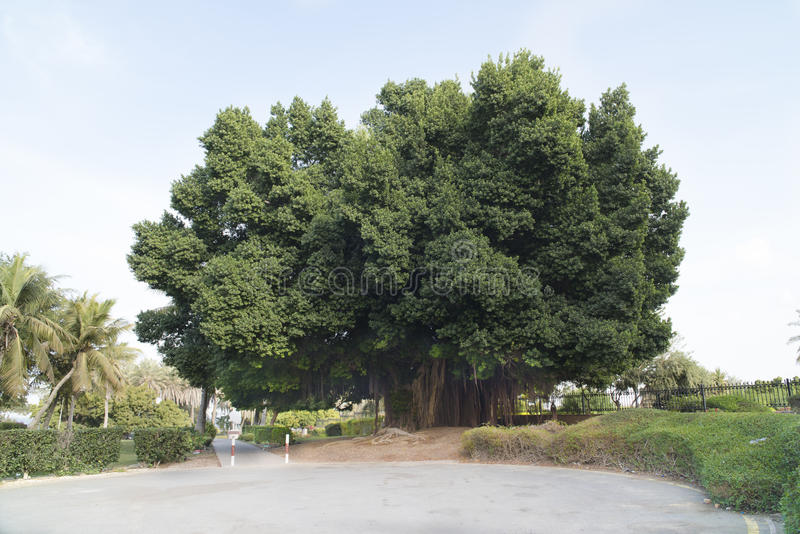 Huge ficus tree royalty free stock image