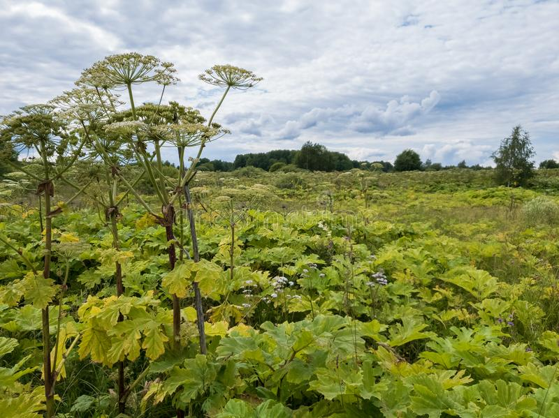 Huge field of poisonous cow parsnip hogweed. Dangerous plant grows with alarming rate, displaces meadow grass. Huge field of poisonous cow parsnip hogweed. Plant stock photos