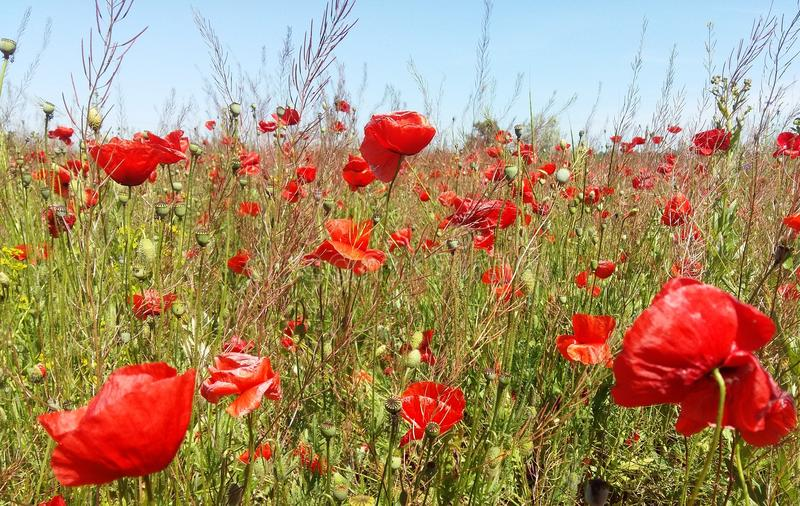 The huge field of red poppies flowers. Sun and clouds. View many of poppies and close-up stock photography