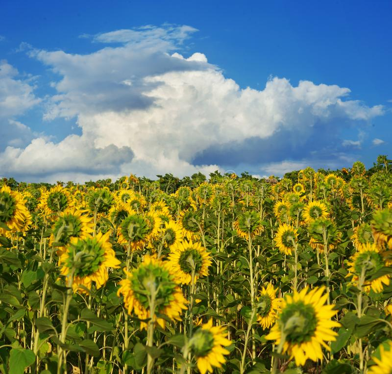A huge field with sunflowers turned away from the setting sun against a cloudless blue sky. Sunflowers turned away from the setting sun against a cloudless blue stock photo