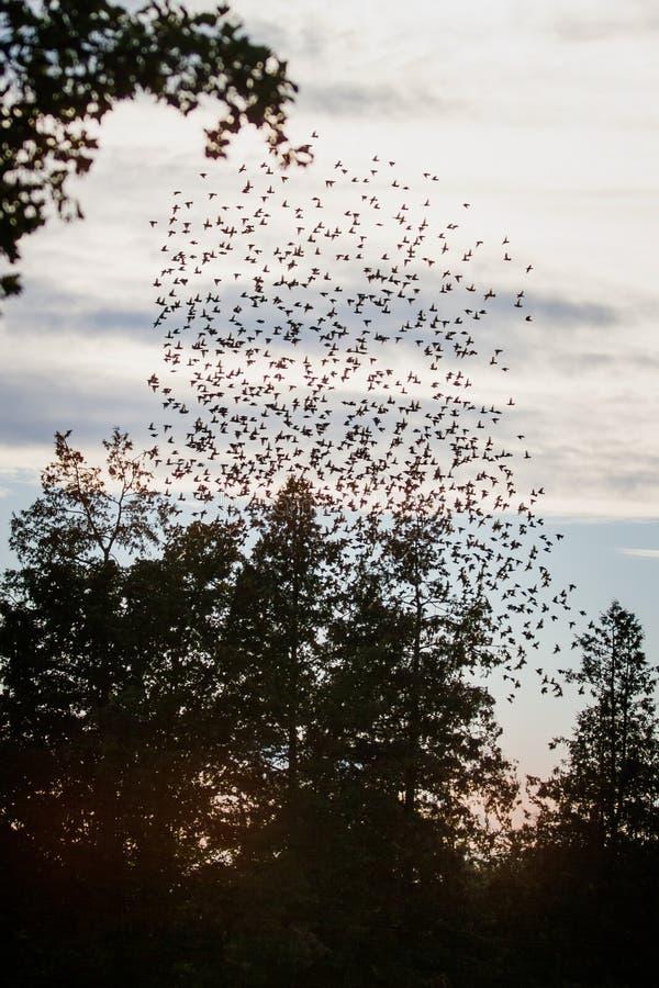 Huge flock of blackbirds stock photos