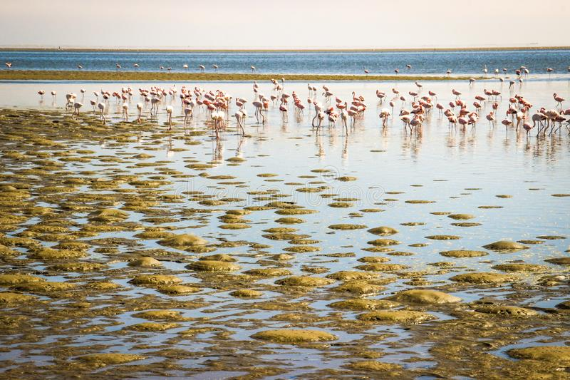 A huge flock of elegant pink flamingos looking for mollusks in the cold waters of the Atlantic Ocean. In Africa stock photos