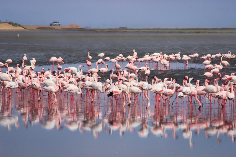 A huge flock of elegant pink flamingos looking for mollusks in the cold waters of the Atlantic Ocean. In Africa royalty free stock image
