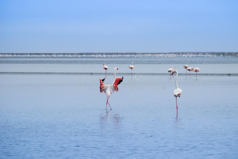 A huge flock of elegant pink flamingos looking for mollusks in the cold waters of the Atlantic Ocean. In Africa royalty free stock photography