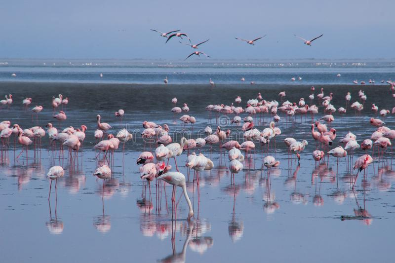 A huge flock of elegant pink flamingos looking for mollusks in the cold waters of the Atlantic Ocean. In Africa stock photography