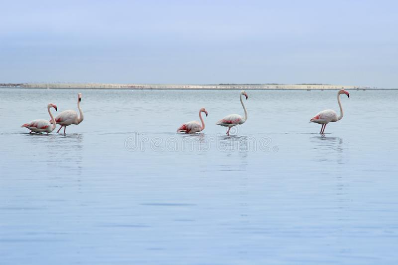 A huge flock of elegant pink flamingos looking for mollusks in the cold waters of the Atlantic Ocean. In Africa stock photo