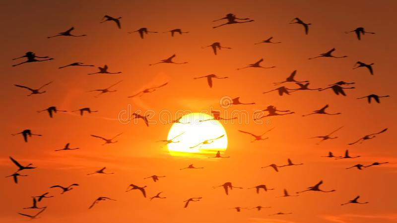 A huge flock of flamingos in backlight on the background of a beautiful orange African sunset. Wildlife of Africa. royalty free stock image