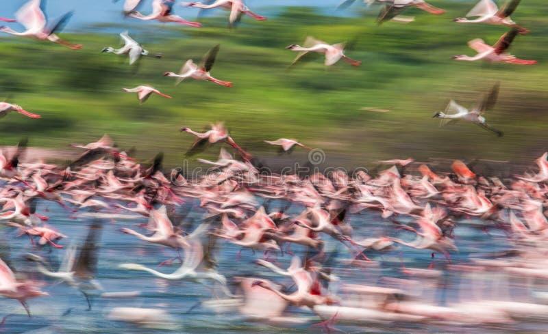 Huge flock of flamingos taking off. Kenya. Africa. Nakuru National Park. Lake Bogoria National Reserve. stock image