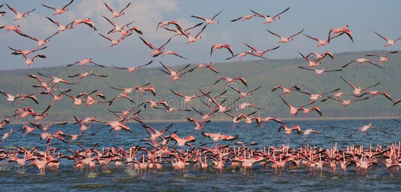 Huge flock of flamingos taking off. Kenya. Africa. Nakuru National Park. Lake Bogoria National Reserve. royalty free stock images