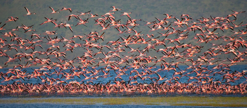 Huge flock of flamingos taking off. Kenya. Africa. Nakuru National Park. Lake Bogoria National Reserve. royalty free stock photography
