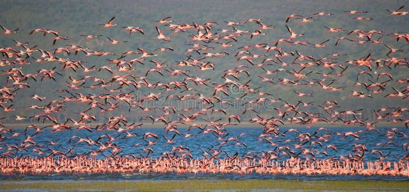 Huge flock of flamingos taking off. Kenya. Africa. Nakuru National Park. Lake Bogoria National Reserve. stock photography