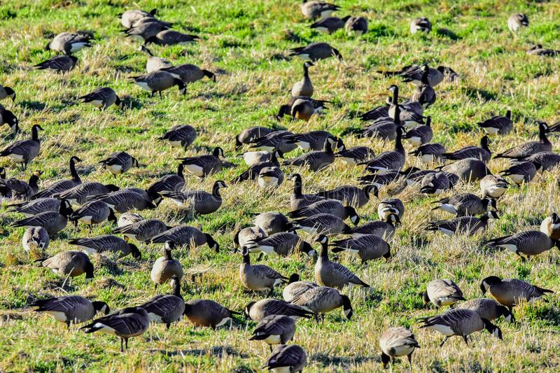 A huge flock of geese flocking together in a bird reserve in nisqually Washington. A whole bunch of geese hanging out in the sunshine stock photos