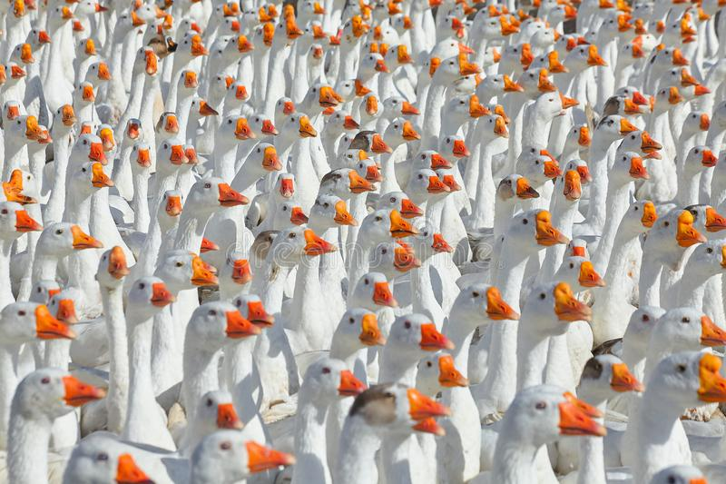 Huge flock of white geese looking in one direction. stock photo