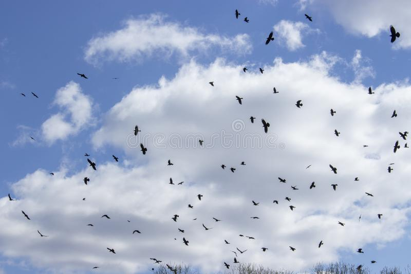 Huge flock of wild birds, black crow rook jackdaw. Birds flock to the nesting place freely hovering in sky chaotically royalty free stock image