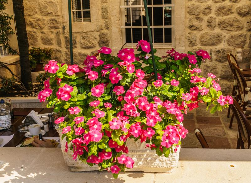 The huge flower of the balsamin Waller as an interior decoration in flower pots. stock image