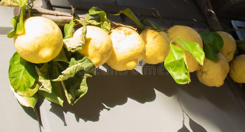 Huge fresh lemons of Sorrento hanging at street market. Italy royalty free stock photo
