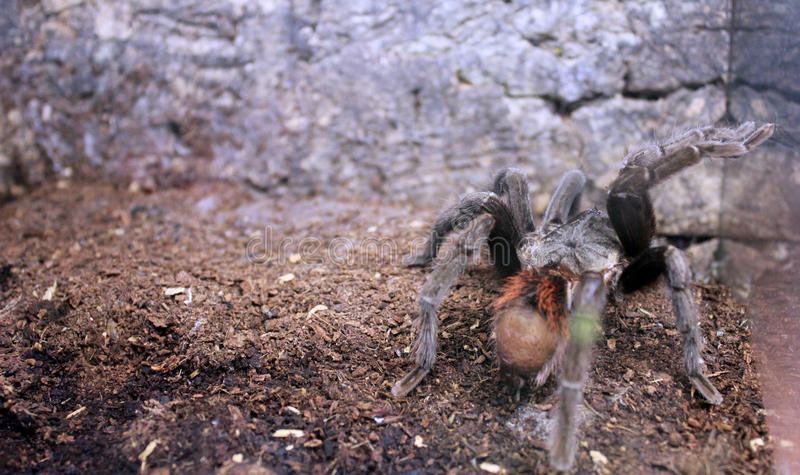 A huge furry spider knocks on the terrarium glass. A huge furry spider knocks on a terrarium glass royalty free stock photo