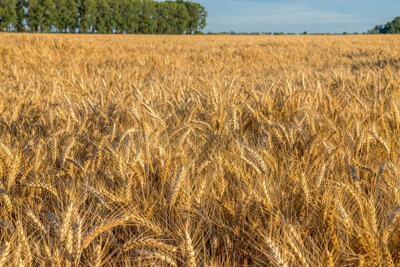 Huge gold wheat field under small forest at summer sunset. Huge gold wheat field under small green forest at summer sunset royalty free stock photos