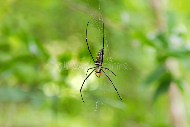 Huge Golden Silk Orb weaver spider hanging from its web stock photos
