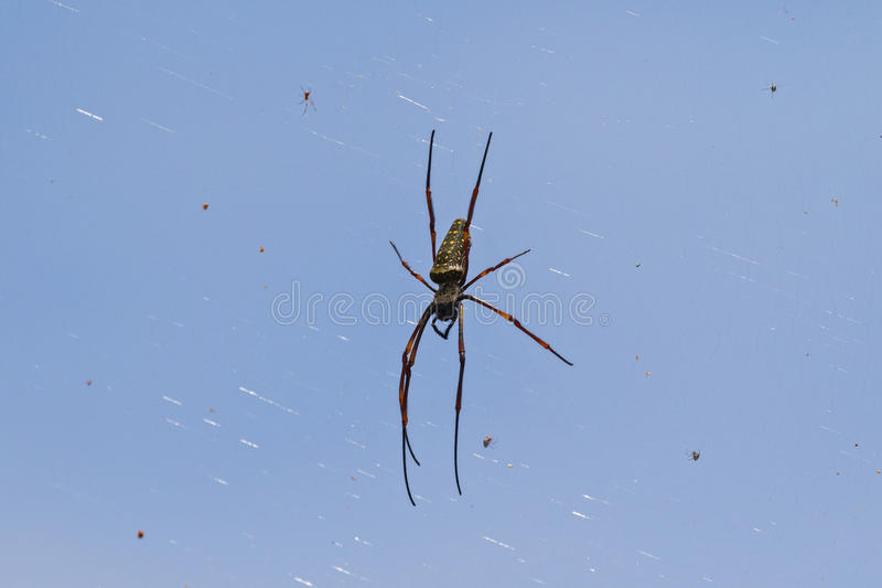 Huge Golden Silk Orb weaver spider hanging from its web with oth stock photo