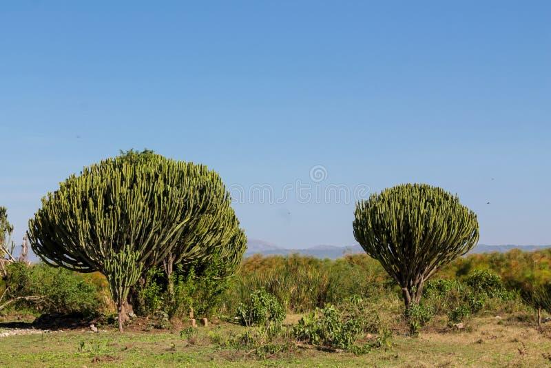 Huge green cactus bush high like a tree. Cactus huge green big bush high like a tree growing in Africa stock photo