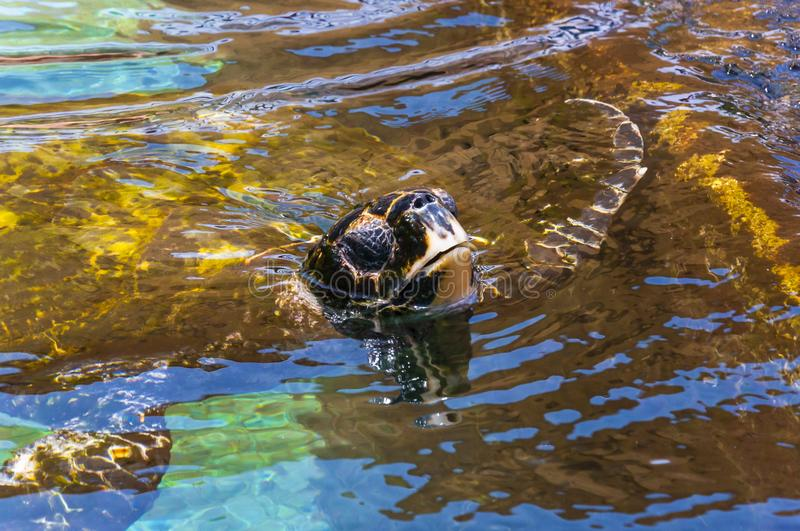 Huge Green Sea Turtle put his head out from water stock photography
