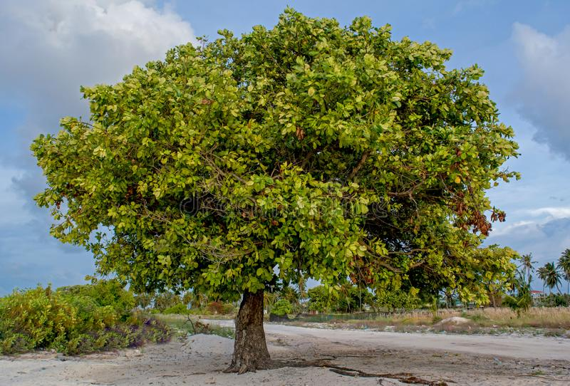 Huge green tree at the village at the tropical island royalty free stock image