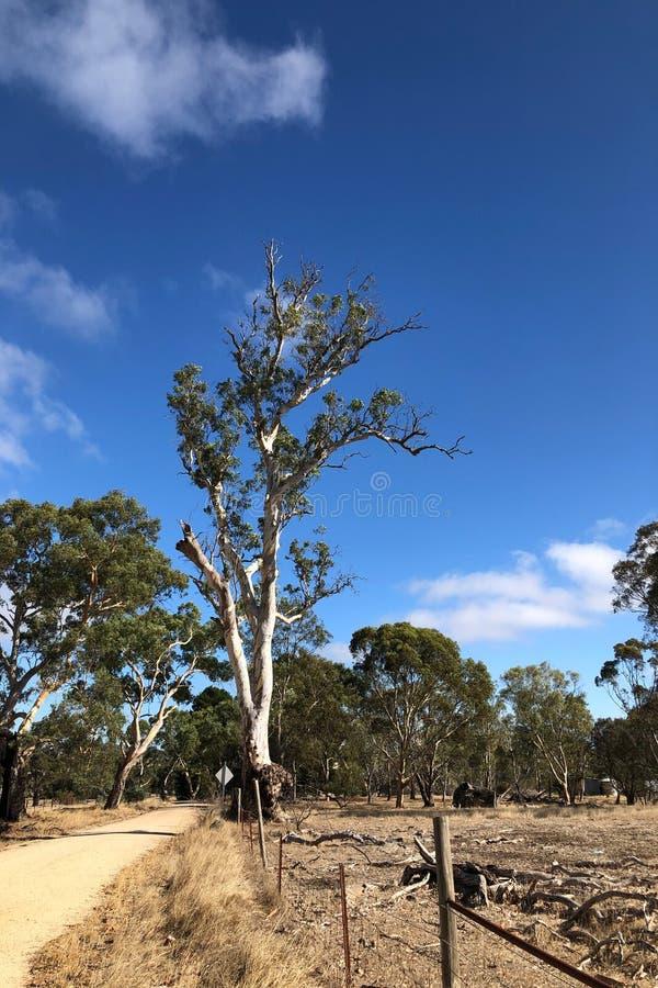 Huge Gum Tree in south Australia. A Huge Gum Tree in south Australia royalty free stock photography