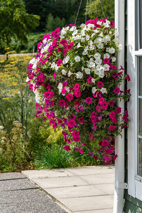 Huge hanging basket of pink and white blooming petunias, building wall and cement patio, garden in background stock image