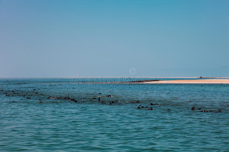 Huge herd of fur seal swimming near the shore of skeletons in th. E Atlantic Ocean, South Africa, Namibia royalty free stock photo