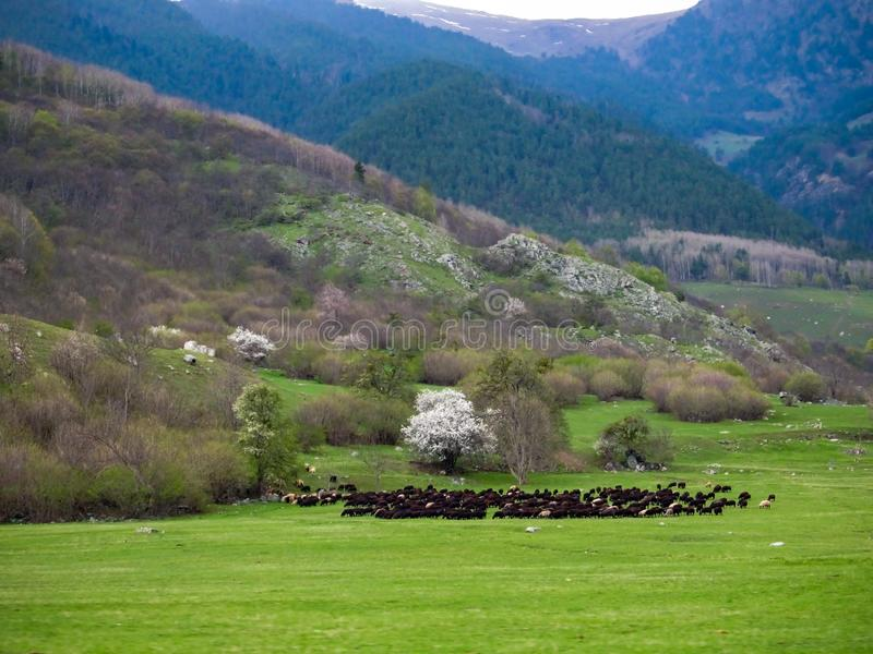 A huge Herd of wild sheep grazing in a meadow in the foothills of the mountains.  stock photography