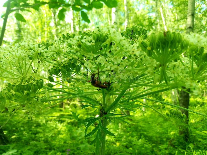 A huge hogweed in the jungle thickets. Huge hogweed in the jungle thickets, umbrella family, umbrella plant, against the background of lush greenery royalty free stock photos