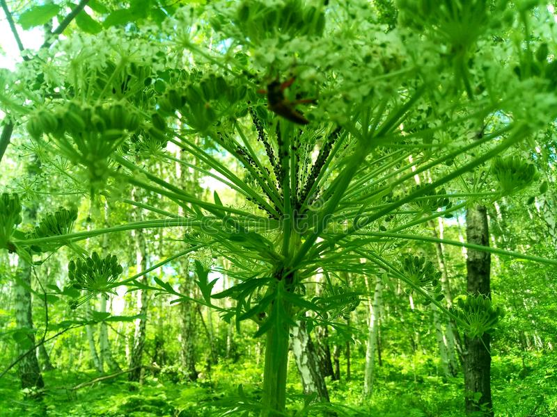 A huge hogweed in the jungle thickets. Huge hogweed in the jungle thickets, umbrella family, umbrella plant, against the background of lush greenery stock photo