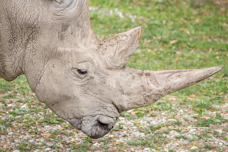 Huge horns of a white rhinoceros. Closeup view of the huge horns of a white rhinoceros, Ceratotherium simum, with the huge horns. The rhinos are in near to the stock photography