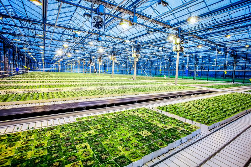 Huge hydroponic plantation system. With green plants, powerful lamps and big area - greenhouse royalty free stock photo