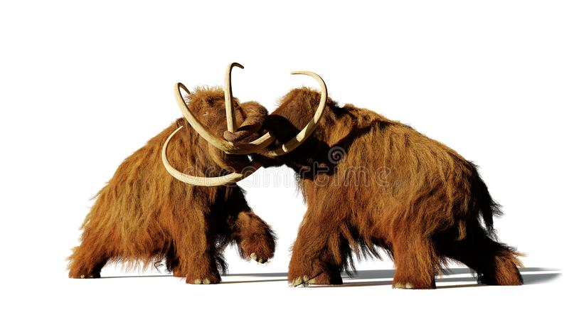 Woolly mammoth bulls fighting, prehistoric ice age mammals isolated with shadow on white background royalty free stock image