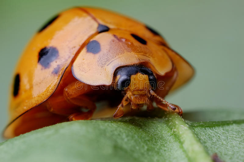 Download Huge ladybug stock photo. Image of china, huge, up, insects - 28598426