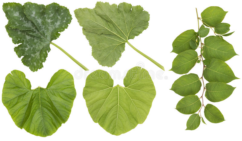 Huge leaves of garden vegetables. Huge green leaves of garden vegetables marrow and pumpkin. Front and back view isolated collage royalty free stock photography