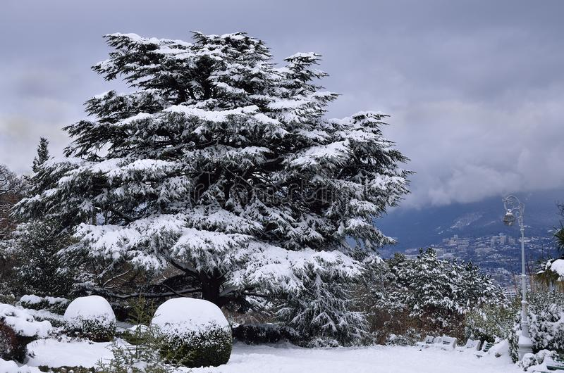 A huge Lebanese cedar covered in snow royalty free stock photo