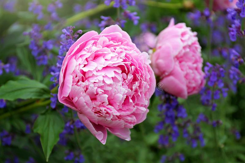 Huge Light Pink Blooms of Sarah Bernhardt Peony Flower and Purple Catmint in Spring Garden. The huge, light pink blooms of the Sarah Bernhardt Garden Peony stock images
