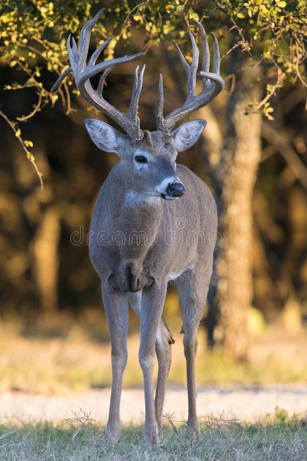 Huge main frame whitetail buck in portrait view stock photography
