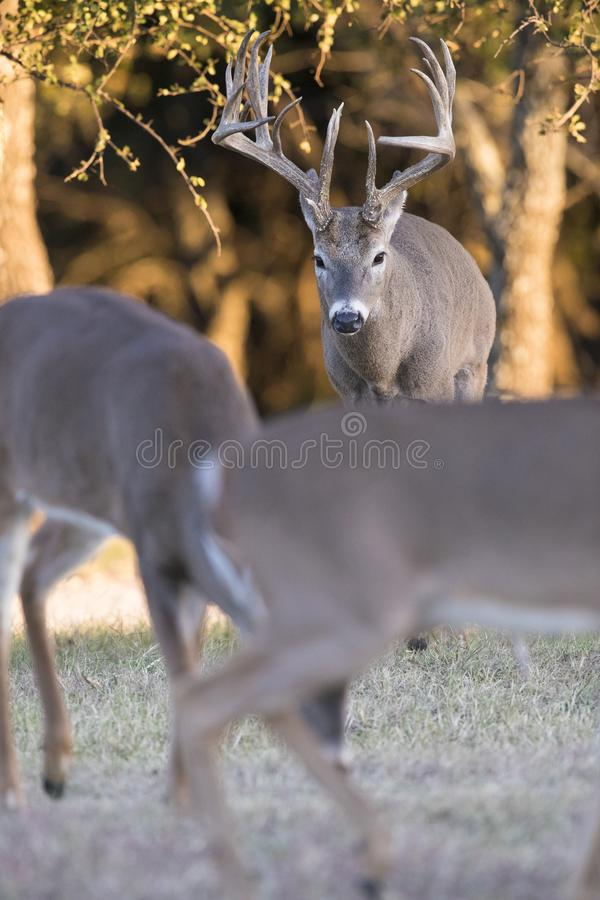 Huge main frame whitetail buck pursuing does in rut. Huge main frame Boone and Crockett whitetail buck pursuing does in rut royalty free stock image