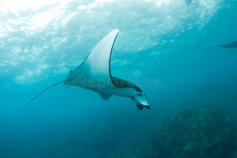 Huge manta ray swimming in the ocean. A massive manta ray passing by with a tropical coral reef in the background royalty free stock image